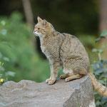 Aufmerksame Wildkatze - Wildpark Klein-Auheim © Hans Günter Abt