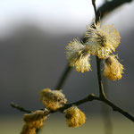 Blühende Weide - Darmstädter Ostwald © Marlen Wesemeyer