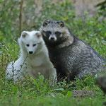 Schmusepartie unter Marderhunden - Wildpark Klein-Auheim © Hans Günter Abt