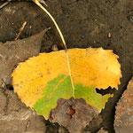 Herbstliches Pappelblatt - Reinheimer Teich © Jennie Bödeker