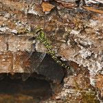 Eier legende Mosaikjungfer am Ölschiefer