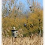 Storchen-Kolonie - Reinheimer Teich © Jennie Bödeker