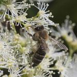 Honigbiene an Kletterhortensie - Garten auf der Rosenhöhe © Anke Steffens