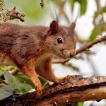 Eichhörnchen, auch Vogeljäger - Garten der Heimstättensiedlung © Jürgen Landshoeft