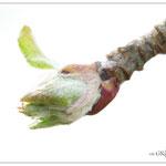 Einohr-Knospe des Apfelbaums - Reinheimer Teich © Jennie Bödeker
