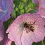 Bienen von der NABU-Wiese auf den Malven des benachbarten Biobauers