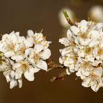 Pflaumenblüte - Garten in der Heimstättensiedlung © Jürgen Landshoeft