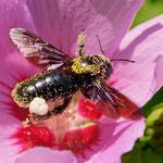 Pollenbeladene Holzbiene beim Verlassen des Hibiskus - Garten in der Heimstättensiedlung © Jürgen Landshoeft