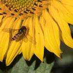 Feldschwebfliege auf der Sonnenblume - Garten auf der Rosenhöhe © Anke Steffens