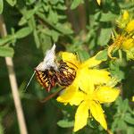 Hornisse räubert im Spinnennetz - Waldrand bei Schaafheim © Susanne Diehl