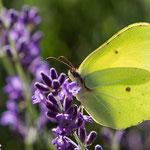 Zitronenfalter auf Lavendel - Botanischer Garten © Anke Steffens