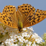 Kaisermantel am Schmetterlingsflieder - Garten in der Heimstättensiedlung © Jürgen Landshoeft