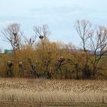 Weißstörche bei der Nestreservierung - Reinheimer Teich © Marlen Wesemeyer