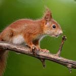 Aufmerksames Eichhörnchen - Garten Heimstättensiedlung © Jürgen Landshoeft