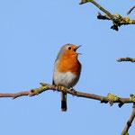 Ausdauernde Sänger: Rotkehlchen