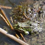 Teichfrosch - Lindensee bei Langen © Ulrike Borchard