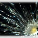 Distelsamen wie eine Supernova - Wiese bei Reinheim © Jennie Bödeker