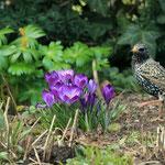 Vögel zwischen Blüten = Frühling - Garten in Messel © Hans Günter Abt