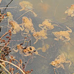 Erdkröten am Laichplatz - Steinbrücker Teich © Hans Günter Abt