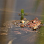 Erdkröten mit Doppelaugen - Steinbrücker Teich © Hans Günter Abt