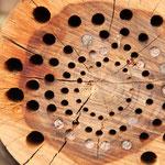 Holzscheibe mit Brutröhren, aber auch gerissenen Bohrungen