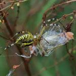 Wespenspinne mit Heuschrecke - Weigandsbusch bei Griesheim © Hans Günter Abt
