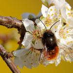 Gehörnte Mauerbiene - Garten in der Heimstättensiedlung © Jürgen Landshoeft