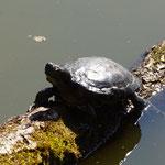 Ausgesetzte Rotwangen-Schmuckschildkröte - Lindensee bei Langen © Ulrike Borchard