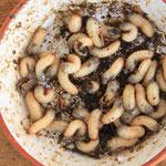 Rosenkäferlarven sind Helfer bei der Kompostierung
