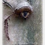 """Baumgesicht: """"Baumbarts Auge"""" Wald bei Höchst - © Jennie Bödeker"""