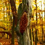 Zapfen in der Spechtschmiede - Odenwald bei Groß-Bieberau © Jennie Bödeker
