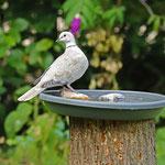 Türkentaube als regelmäßiger Gast am Wassernapf - Garten in Messel © Hans Günter Abt