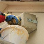 Nest aus weichem Moos von der Kohlmeise