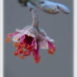Hamamelisblüte - Botanischer Garten DA © Jennie Bödeker