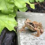 Junger Grasfrosch – Garten im Steinbergviertel © Kirsten Van Den Berge