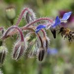 Honigbiene am Borretsch - Garten auf der Rosenhöhe © Anke Steffens
