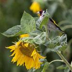 Stieglitz bringt noch mehr Farbe - Garten an der Rosenhöhe © Anke Steffens