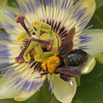 Holzbiene mit gelber Maske in Passionsblume - Garten in Messel © Hans Günter Abt