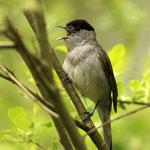 Mönchsgrasmücke mit lautem Gesang