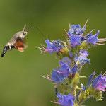 Taubenschwänzchen bestäubt auch Blüten mit Tierfang