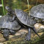 Halbwüchsige Sumpfschildkröten in der Zuchtstation