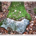 Baum frisst Stein - Niedernhausen / Odw. © Jennie Bödeker