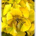 Goldener Ginko - Botanischer Garten © Jennie Bödeker