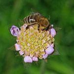 Bienen brauchen offene Blüten