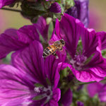 Biene im Anflug auf Malve - Oberfeld Anke Steffens