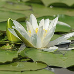 Seerosen beleben den Teich