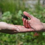 Übergabe des bewunderten großen Käfers
