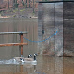 Kanadagänse auf überschwemmtem Bootssteg - Steinbrücker Teich © Hans Günter Abt