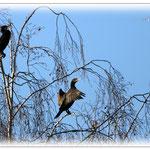 Kormorane in der Ruhepause - Reinheimer Teich © Jennie Bödeker