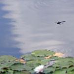 In größerer Entfernung: vermutlich Große Königslibelle